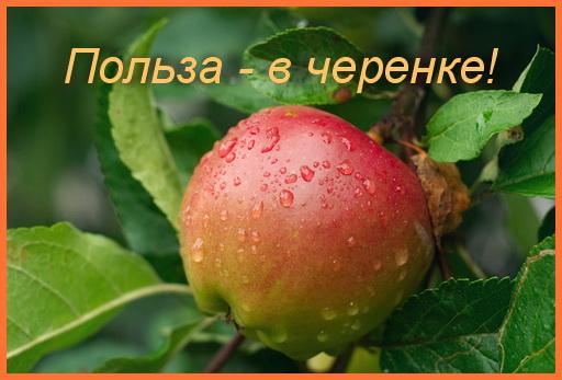 черенок яблока полезен