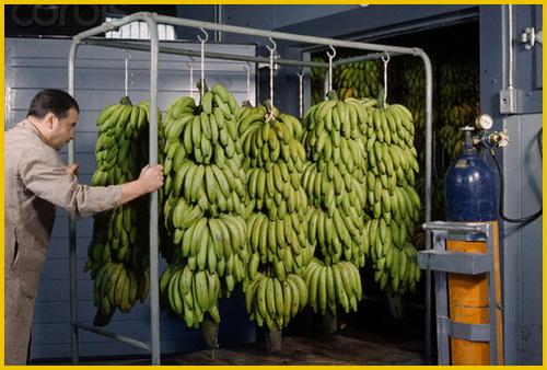бананы обрабатывают газом